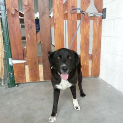 Found dog on 21 May 2014 in dunboyne. 2yr old Lab x.ref 235..found in Dunboyne... contact Meath pound  or dogs in distress on 086 3696413 Neutered & wearing a collar with Bones on it..