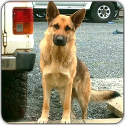 Lost dog on 23 May 2014 in Baltinglass, Co. Wicklow . German Shepherd gone missing last Friday from Baltinglass co. Wicklow, her name is Bonnie, she is not wearing a collar but is microchipped, Please help me find her 0877992827