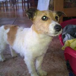 Found dog on 28 May 2014 in Galway. Very affectionate female terrier about two years old found in the Carrabane vicinity, Loughrea, Co. Galway 28/05/2014. No collar or microchip. Please contact if you recognise this dog. Please contact 0861768580 or 091 847178