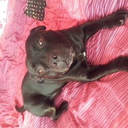 Lost dog on 11 Jun 2014 in Artane, Dublin. Black staffie, with a little white on his chest. Missing from the Artane area around midday today. Age 8. Very friendly. Please contact Hayley on 0851050007. Thank you