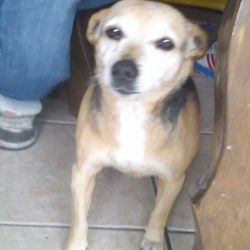 Lost dog on 18 Jun 2014 in coolock priorswood d17. Last seen at priorswood church coolock she is 10 years old very friendly and neutered missed a lot by her family wearing a gold and black collar