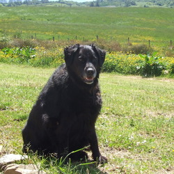 Lost dog on 24 Jun 2014 in Sligo Town. Fifi went missing in Sligo Town on Tuesday the 24th June. She is a medium sized black dog and has a has a white muzzel  . She is 7 years old and may be limping. She is very gentle but nervous. She is wearing a pink collar. Contact me at 0860510227 or 0879378997