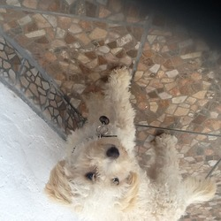 Lost dog on 28 Jun 2014 in Saggart, city west co.dublin. Small bichon goes by the name Riley , lost in the saggart area in the last couple of hours, he is very much a family dog and has just travelled for four days from Spain to spend time here with family,,,the kids are absolutely heartbroken...please if anyone knows or lives in the saggart area and has seen him please can u contact my dad straight away 0852809912 thank you very much