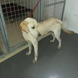 Found dog on 02 Jul 2014 in kells. Zara....ref 298..approx...10mt old Lab X puppy...Found in Allenstown Kells...contact Meath pound on 087 0676766