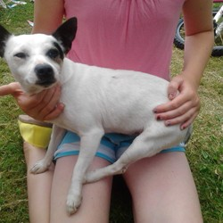 Found dog on 02 Jul 2014 in Tallaght. Small male dog, mix between jack russel and chuwawa, I think, found on 2nd July beside Centra shop in Springfield Tallaght. I can't keep him and I wish the owner to contact me as soon as possible. There is no collar on the dog. Phone no: 0894223820.