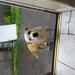 Lost dog on 08 Jul 2014 in Clonsilla areas. Reward pit blue dog (brown & white color mixed)