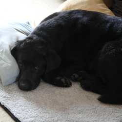 Lost dog on 15 Jul 2014 in Malahide, Robswall. 14 years old black Lab was missing from Malahide (Robswall)  today at 10 am. His name is Lars. He has a big tumor on his left shoulder. He is very friendly. If you have seen him please call Andy on 0866026003.