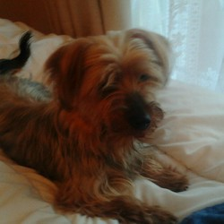 Found dog on 16 Jul 2014 in Lucan. Long Haired Yorkshire Terrier (Female) Found in Lucan. Please phone 0857119295.