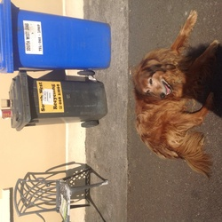 Lost dog on 17 Jul 2014 in Kilmorna Listowel area. Tiny the red setter went missing on Thursday night 17th