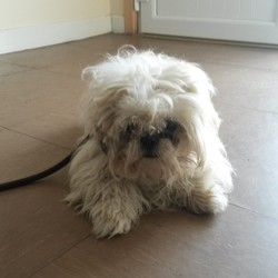 Found dog on 21 Jul 2014 in Co Wicklow. Shih Tzu found Rathdrum, Wicklow. Contact Wicklow Dog Pound for information on 040444873. Available for rehoming from 28/7/14 if owner does not come forward.