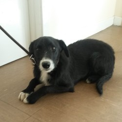 Found dog on 21 Jul 2014 in Co Wicklow. Found Wicklow Town. Contact Wicklow Dog Pound for information on 040444873. Available for rehoming from 28/7/14 if owner does not come forward.