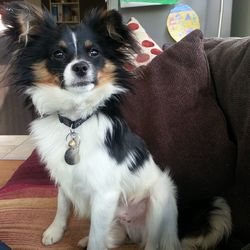 Lost dog on 24 Jul 2014 in Aughrim Co.Wicklow. Black,white & tan 1yr old male Chichuahua/Pom X.Neutered & Microchipped. Disappeared from Aughrim,Wicklow Thurs 24/07.Much loved & anxious for return. Contact lorralaine@gmail.com