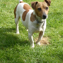 Lost dog on 31 Jul 2014 in sundays well,cork city. 3yr old jack russell,microchipped,neutered. Very friendly. 