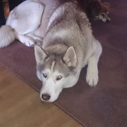 Lost dog on 06 Aug 2014 in johnstown navan meath. lost brown and white Siberian husky she has an orange collar lost in the johnstown navan meath area if found please call me on 0851123775