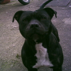 Found dog on 22 Mar 2009 in Walkinstown, Dublin. Young Staffordshire Bull Terrier found in Walkinstown on 22 of March, she is black with brown stripes in colour and has white underneath. She is not chipped and was found wearing a tan coloured collar.
