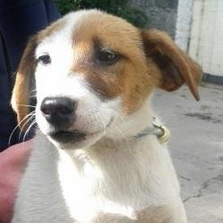 Found dog on 20 Aug 2014 in clondalkin. puppy -  Date Found: Tuesday, August 19, 2014 Location Found: S,D,C,C,Office,Clondalkin , Clondalkin now in dublin dog pound