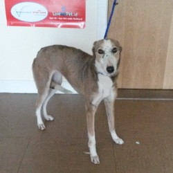 Found dog on 29 Aug 2014 in Co Wicklow. Greyhound X found Wicklow Town. Contact Wicklow Dog Pound for information on 040444873. Rehoming from 3/9/14 if owner does not come forward