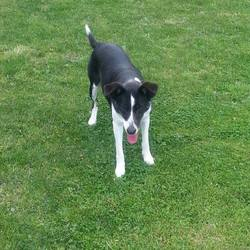 Found dog on 29 Aug 2014 in DUNBOYNE. FOUND Wilma...(real name)....ref 380...found in Dunboyne with Willy...they are chipped but we are unable to contact owners...please contact Meath pound if you have any information..thanks..