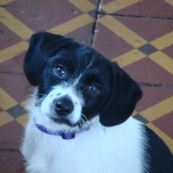 Lost dog on 21 Mar 2009 in Bray, Co Wicklow. small female jack russel X. missing since saturday in Bray, Co Wicklow. Reward if returned. missed :( please contact 0857444661