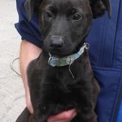 Found dog on 09 Sep 2014 in clondalkin. FOUND PUPPY, NOW IN DUBLIN DOG POUND.. Date Found: Monday, September 8, 2014 Location Found: Balgaddy , Clondalkin
