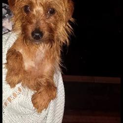 Found dog on 24 Sep 2014 in deansrath clondalkin. Female brown terrier type dog found in westbourne /deansrath area clondalkin