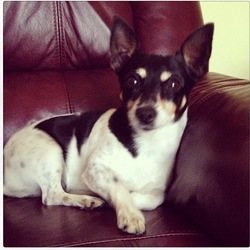 Lost dog on 26 Sep 2014 in Westmeath . White, black and tan miniture terrier! Beloved family pet. Was being cared for by relative in the Moyvore/Ballynacarragy area of Westmeath along the Ballymahon Road. Very friendly will probably go with you if you see her. Name is Pixie.