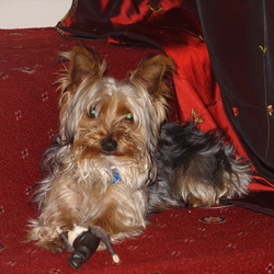 Lost dog on 16 Mar 2009 in Gravesend Kent. Small yorkshire terrier called max lost in Gravesend on 16/03/2009 at about 4:30PM... is sadly missed especially by two sad children that would love to be reuinited with him