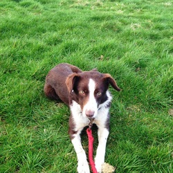 Lost dog on 05 Oct 2014 in DARTFIELD KILREEKIL. Brown and white sheep dog, very nervous nature, one year old. Please call 0834542947