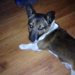 Lost dog on 06 Oct 2014 in limerick. STOLEN  Male Jack Russell, 1 Year Old,brown and white in colour wearing black and grey collar.  Stolen on Sunday 5th October from family home in the Dublin Road/Clare Street area. ref to http://www.donedeal.ie/lostandfound-for-sale/stolen-dog/7816572