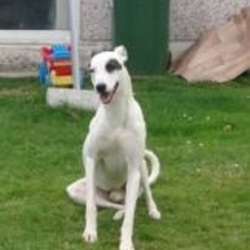Lost dog on 06 Oct 2014 in mallow. stolen hound.... Hound stolen in the mallow area  26 to 28 inch in height  Large white dog, black patch on left eye, black patch on right ear  Childs pet ref to http://www.donedeal.ie/lostandfound-for-sale/lurcher-stolen/7668384