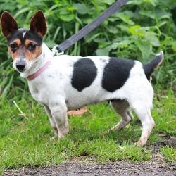 Found dog on 13 Oct 2014 in dublin. found jrt now in dublin dog pound..