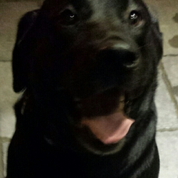 Found dog on 04 Nov 2014 in Liffey Valley Park, Lucan. Black Lab found in Liffey Valley Park Dublin. evening of 04.11.14. Male, not neutered. Very friendly.