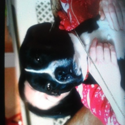 Lost dog on 11 Nov 2014 in tallaght. Black and white staffy female