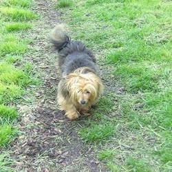 Lost dog on 13 Nov 2014 in Near Delvin, Co. Westmeath. LOST -Female full size Yorkshire Terrier. Is wearing collar with tags and is microchipped