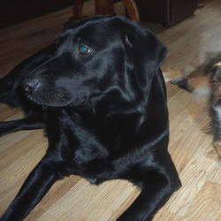 Lost dog on 09 Nov 2014 in Cavan. Black labrador retriever, 4 years old