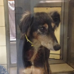 Found dog on 24 Nov 2014 in coolquay lodge. found saluki, contact dogs trust..Dog found: saluki cross, elderly female. No chip. Found petrol station coolquay lodge today. Please share.