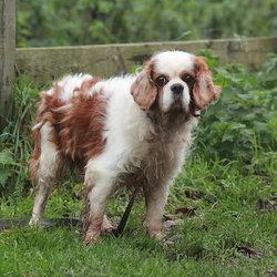 Found dog on 25 Nov 2014 in dublin. found cavalier king charles, now in dublin dog pound