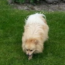 Lost dog on 16 Oct 2014 in Kilkenny. Large Blonde and white male Pomeranian taken from the Kilkenny area. Beautiful brown eyes. Large reward for his safe return. Tel: 0863159968