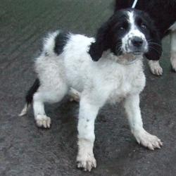 Found dog on 26 Nov 2014 in tallaght. found springer x now in dublin dog pound.. Date Found: Monday, November 24, 2014 Location Found: Belgard Road , Tallaght