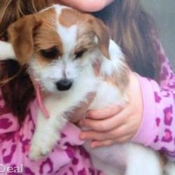 Lost dog on 09 Dec 2014 in tralee. STOLEN female terrier Kerry , microchipped and neutered ref to http://www.donedeal.ie/dogs-for-sale/stolen/8214552