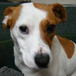 Found dog on 13 Dec 2014 in wicklow. found...female jrt..RTA This little lady was involved in a car accident this morning in Wicklow Town. She received attention from our Vets and is now in our care. Thank you to everyone at the scene , particularly the driver who looked after the dog and sought immediate care for her as he was very upset himself. If this is your dog please contact the office asap.0404 44783  ref to wicklow SPCA sharpeshill