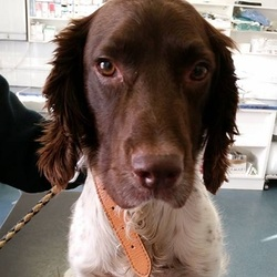 Found dog on 19 Dec 2014 in navan. found spaniel..Dog found! This fellow was found on Railway Street in Navan today. He is quite thin. He is neutered but not microchipped. Please call us on 0469023854 if you have any info on him please. Don't forget to share this post ref to last hope charity