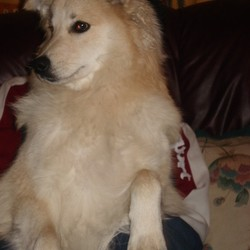 Lost dog on 15 Mar 2009 in Mitchelstown, Co Cork. Missing Dog! He is 2 years old.Japanese spitz and sheepdog cross. He has a big curly tail. Much loved and missed pet. Generous reward offered.