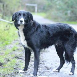 Found dog on 23 Dec 2014 in dublin. found collie, now in the dublin dog