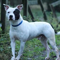Found dog on 23 Dec 2014 in dublin. found male staff, now in the dublin dog pound