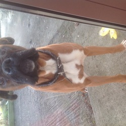 Found dog on 24 Jan 2015 in Cappincur, Tullamore. Found Boxer, male, very friendly, 3miles outside Tullamore, Co.Offaly. Now in the pound