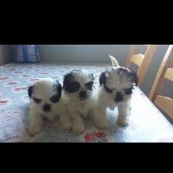 Lost dog on 24 Jan 2015 in maynooth. STOLEN URGENT STOLEN** Puppies stolen from a home in #Maynooth. These babies were still feeding from mum and need to get home ASAP. If you see an advert selling these or get offered one please notify us and the gardai and try to take registration numbers of car etc. LETS GET THEM HOME.ref to missing dogs ireland