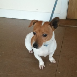 Found dog on 30 Jan 2015 in Wicklow. Jack Russell Terrier found Newtown, Co Wicklow. Contact Wicklow Dog Pound for information on 040444873
