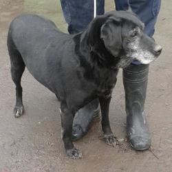 Found dog on 13 Feb 2015 in clondalkin. found lab, now in the dublin dog pound... Date Found: Thursday, February 12, 2015 Location Found: Castle Grange Est , Clondalkin