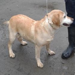 Found dog on 13 Feb 2015 in clondalkin. found golden lab now in the dublin dog pound.. Date Found: Thursday, February 12, 2015 Location Found: Castle Grange Est , Clondalkin
